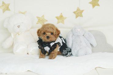モデル犬候補!小さな小さな綺麗なアプリコットの女の子*3275