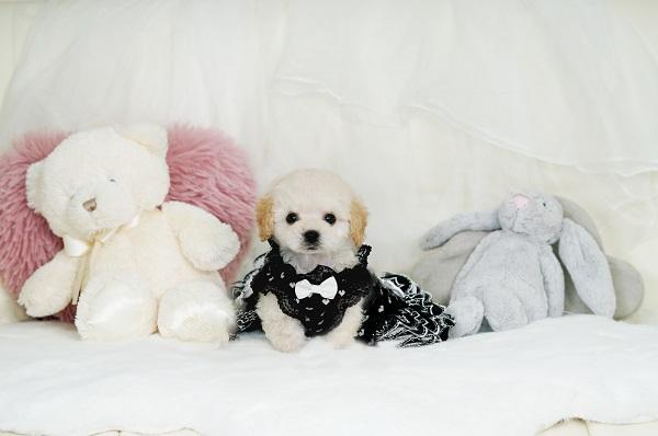 ティーカッププードル モデル犬 クリーム