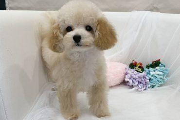 モデル犬候補!! 綺麗なレッド小さく可愛い女の子*3471