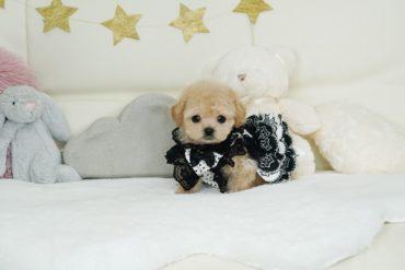 モデル犬候補!! 綺麗なレッド小さく可愛い女の子*3416