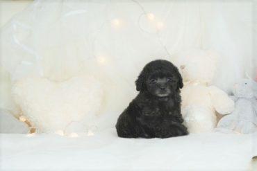 モデル犬!小さな小さな姉妹!!可愛いクリーム~アプリコットの女の子*3489