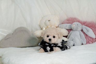ティーカッププードル 可愛い姉妹!!小さなクリーム~アプリコットの女の子*3488