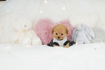 モデル犬!最高な毛ぶきの小さなアプリコット〜クリームの女の子*3541