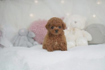 モデル犬候補!!最高に美人なホワイトの女の子!!*4