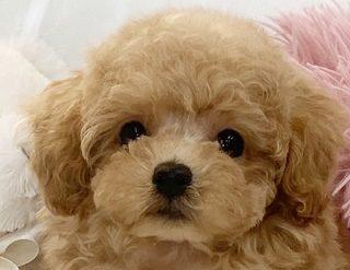 モデル犬候補!とっても大きなお目めの綺麗なアプリコットの女の子*295