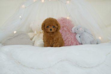 モデル犬!?優しいお色のとっても可愛いクリームの女の子*312生体価格:1,480,000円